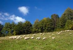Sheeps auf einer Gebirgswiese Stockfoto