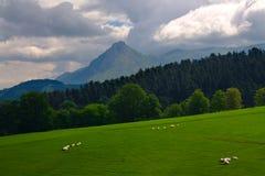Sheeps auf Weide in Gipuzkoa, Euskadi Lizenzfreie Stockfotos