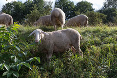 Sheeps at august summer time in south germany near stuttgart. You see sheeps at august summer time in south germany near stuttgart with fresh green grass and Royalty Free Stock Images