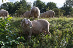Sheeps at august summer time in south germany near stuttgart. You see sheeps at august summer time in south germany near stuttgart with fresh green grass and stock image
