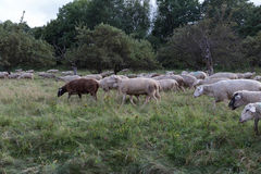 Sheeps at august summer time in south germany near stuttgart. You see sheeps at august summer time in south germany near stuttgart with fresh green grass and Stock Photography