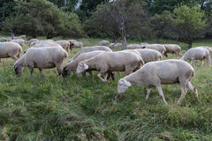 Sheeps at august summer time in south germany near stuttgart. You see sheeps at august summer time in south germany near stuttgart with fresh green grass and royalty free stock image
