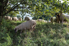 Sheeps at august summer time in south germany near stuttgart. You see sheeps at august summer time in south germany near stuttgart with fresh green grass and stock photo