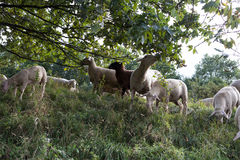 Sheeps at august summer time in south germany near stuttgart. You see sheeps at august summer time in south germany near stuttgart with fresh green grass and royalty free stock photos
