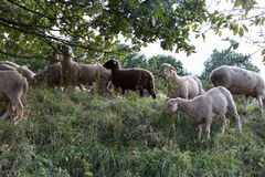 Sheeps at august summer time in south germany near stuttgart. You see sheeps at august summer time in south germany near stuttgart with fresh green grass and Stock Images