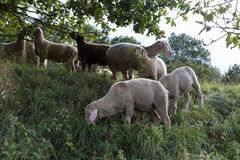 Sheeps at august summer time in south germany near stuttgart. You see sheeps at august summer time in south germany near stuttgart with fresh green grass and Royalty Free Stock Photo