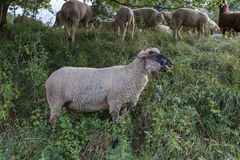 Sheeps at august summer time in south germany near stuttgart. You see sheeps at august summer time in south germany near stuttgart with fresh green grass and Stock Photos