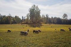 Sheeps av ett fält solig dagsommar arkivbilder