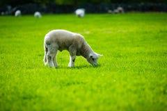 Sheeps av Norge royaltyfri foto