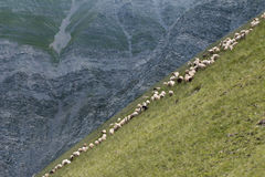 Sheeps at Azerbaijan Stock Image