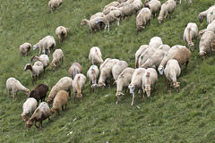 Sheeps at Azerbaijan Royalty Free Stock Photo