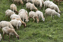 Sheeps at Azerbaijan Royalty Free Stock Image