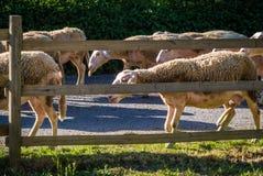 Sheeps bak ett staket Fotografering för Bildbyråer