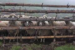 Sheeps bak staket 4 Arkivbilder