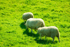 Sheeps on beautiful mountain meadow in Norway Royalty Free Stock Photography