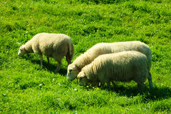 Sheeps on beautiful mountain meadow in Norway Royalty Free Stock Photos