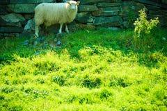 Sheeps on beautiful mountain meadow in Norway Stock Photo