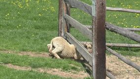 Sheeps behind the fence in farm stock video