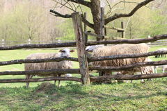 Sheeps behind Wooden Fence. Sheep's standing behind the wooden fence Stock Images