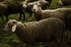 2 sheeps bekijken me Stock Afbeeldingen
