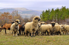 Sheeps with bells in a pasture on the mountain Stock Photos