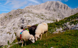 Sheeps in bergen stock afbeelding