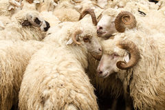 Sheeps with big horns. Sheep with big horns on the background of the flock Royalty Free Stock Photos