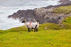 Sheeps bij Achill Eiland, Ierland royalty-vrije stock afbeelding
