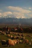 Sheeps bij gras Royalty-vrije Stock Foto's