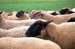 Sheeps bij Landbouwbedrijf Royalty-vrije Stock Foto's
