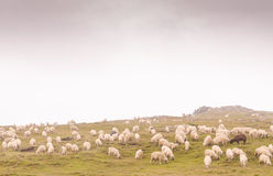 Sheeps bij weide Royalty-vrije Stock Foto