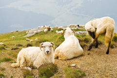 Sheeps on bucegi mountains Royalty Free Stock Photo