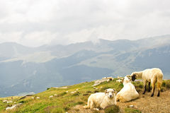 Sheeps on bucegi mountains Royalty Free Stock Photography