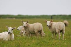 Sheeps che lo esamina Immagine Stock Libera da Diritti