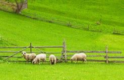 Sheeps che mangia l'erba fresca - copi lo spazio Fotografia Stock