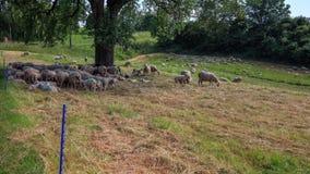 Sheeps cieszy się cień drzewo na ciepłym letnim dniu - czasu upływ zbiory