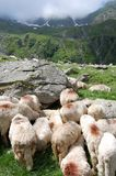 Sheeps close to the mountains Royalty Free Stock Photography