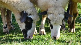Sheeps Close Up stock footage