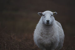 Sheeps, close up of a welsh sheep in Brecon Beacons National Park. Dark day, cold winter Stock Photo