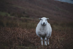 Sheeps, close up of a welsh sheep in Brecon Beacons National Park Royalty Free Stock Photography