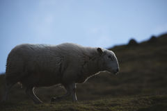 Sheeps, close up of a welsh sheep in Brecon Beacons National Park Stock Images