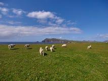 Sheeps at the coast of Dingle, Ireland. Sheeps at the coast of Dingle on a beautiful summer day stock photo