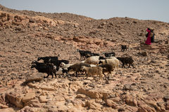 Sheeps in Colour Canion Stock Images