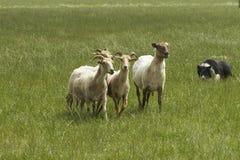 Sheeps con el collie de frontera Foto de archivo