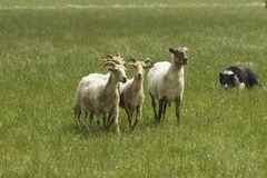 Sheeps con il Collie di bordo Fotografia Stock
