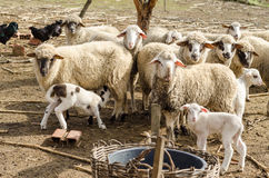 Sheeps in the countryside Stock Photos