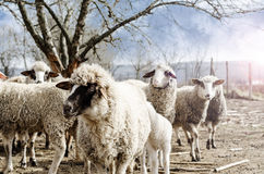 Sheeps in the countryside Stock Image