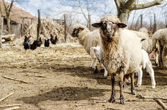 Sheeps in the countryside Royalty Free Stock Image