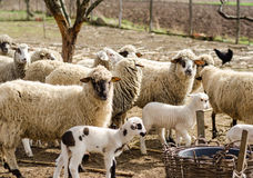 Sheeps in the countryside Stock Images