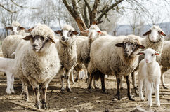 Sheeps in the countryside Royalty Free Stock Photography